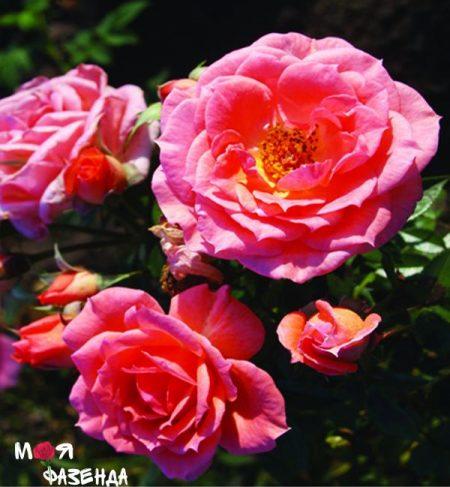 Пируэт роза