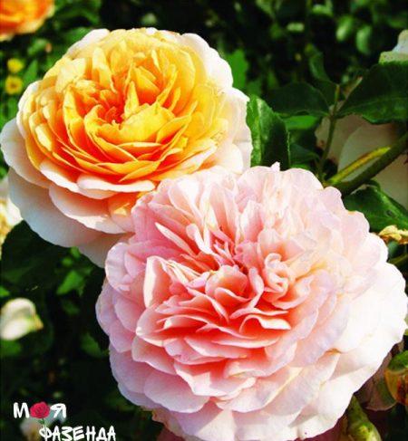 Полька роза