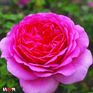 Принцесса Александра офф Кент роза