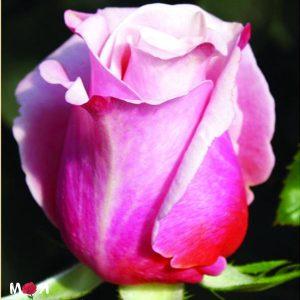 Прима Вера роза