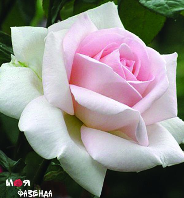 Пушкин роза