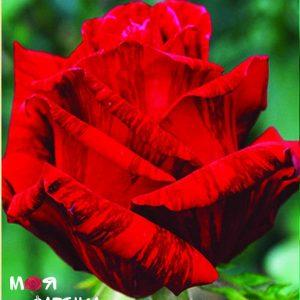 Рэд интуиция роза