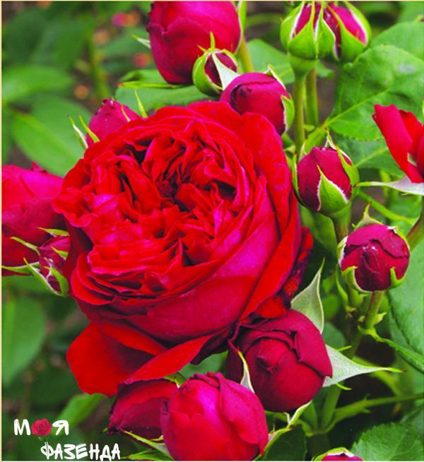 Рэд эден роза