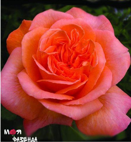 Рене Госсини роза