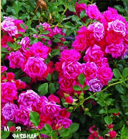 Роди роза