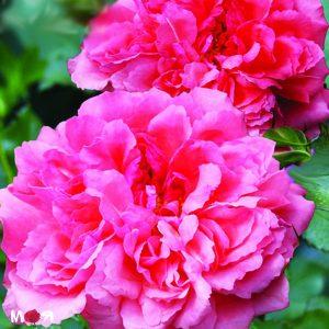 Розариум Ютерзен роза