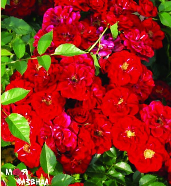 Руж Баден Баден роза