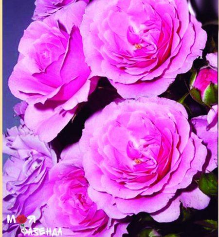 Роял Боника роза