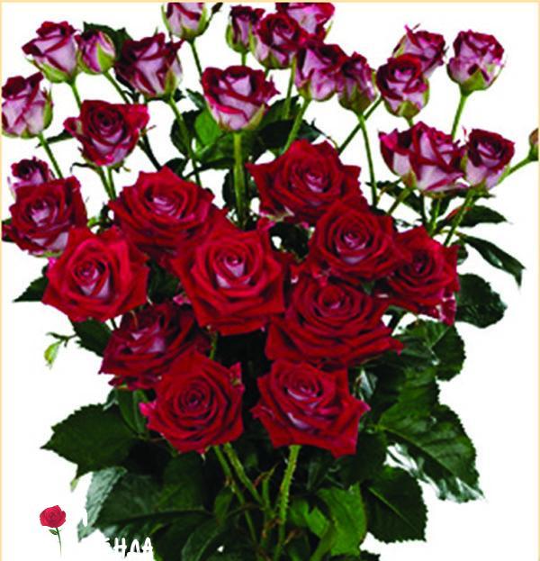Руби Стар роза