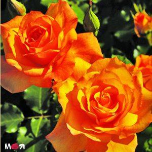 Сахара роза