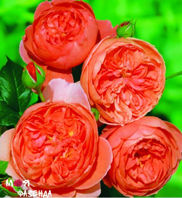 sammer-song rose