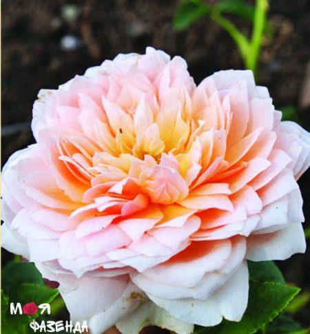 Сангерфаузер роза