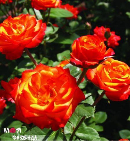 Санни Дей роза