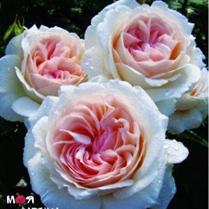 Себастьян Кнейпп роза