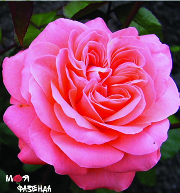 Шакенборг роза