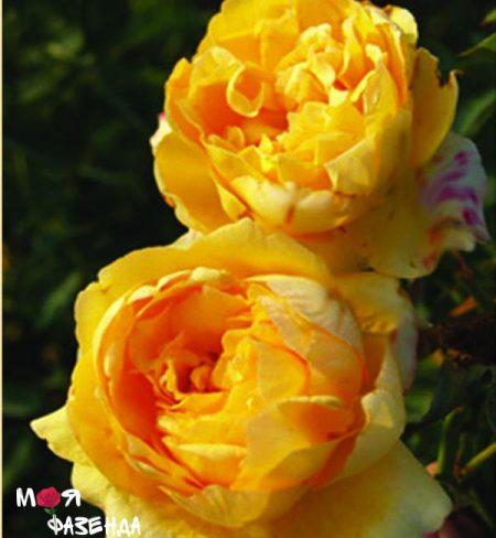 Шарлотта роза