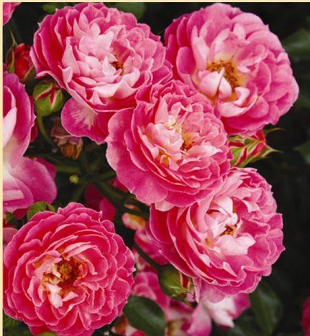 Шарман роза