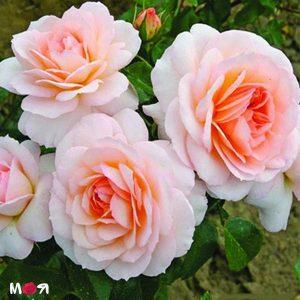 Шлосс Ойтин роза