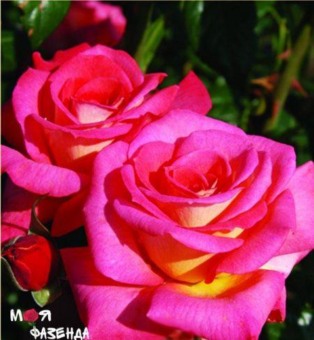 Шогун роза