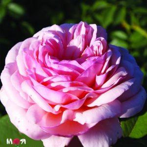 Э Шропшир Лэд роза