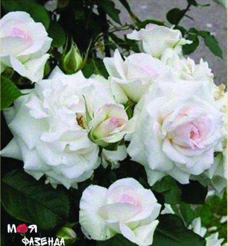 Шванензее роза