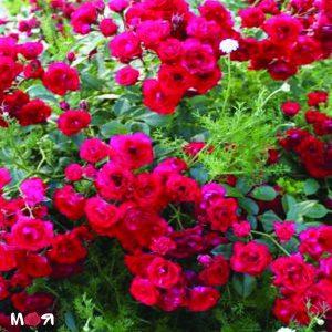 Скарлетт роза