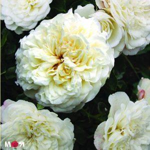 Сноу Балет роза