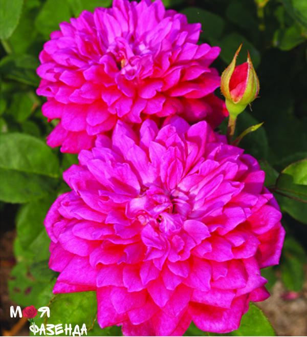 Софис роза