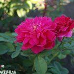 Роза Софис