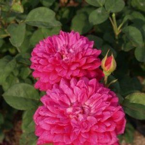 Роза Софии