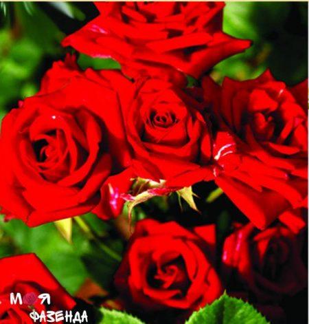 Спрей красный роза