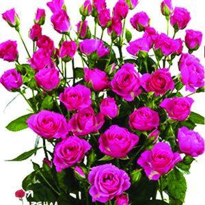 Спрей малиновый роза