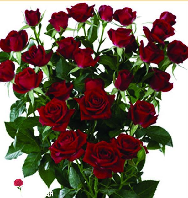 Спрей темно-красный роза