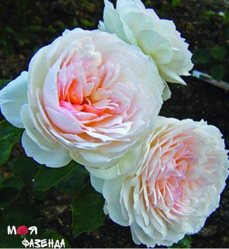 Баронесса Стефания роза