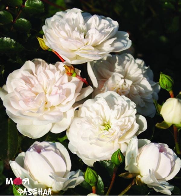 Суони роза