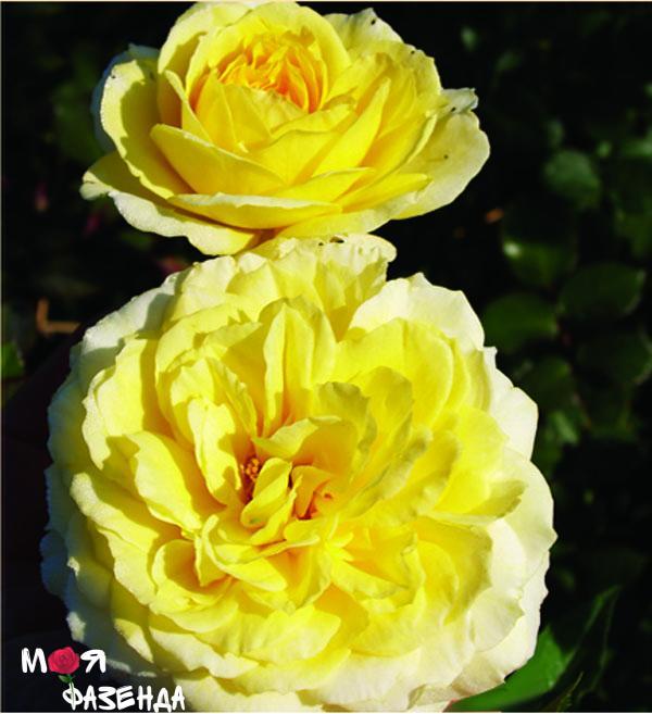 Таитиан мун роза