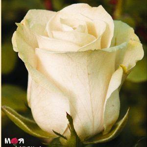 Талея роза