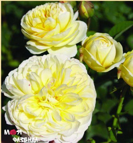 Тэт Дор роза