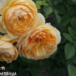Роза Тисин Джорджия