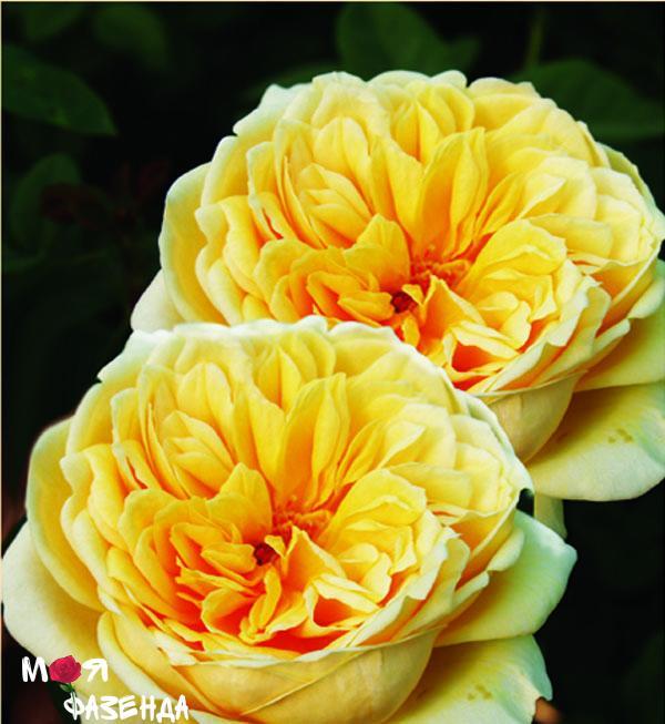 Тисин Джорджия роза