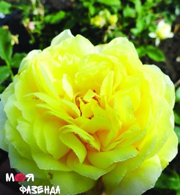 Тулуз Лотрек роза