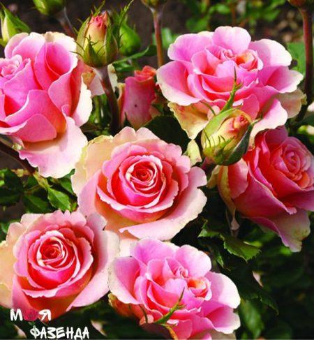 Трикс роза