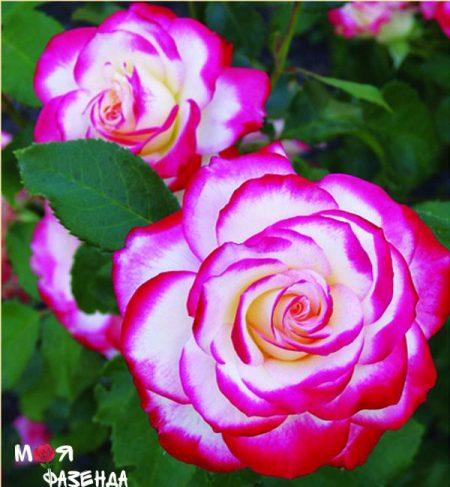 Юбилей принца Монако роза