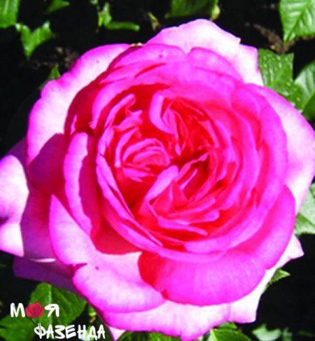 Вальцертраум роза