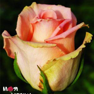 Версилия роза