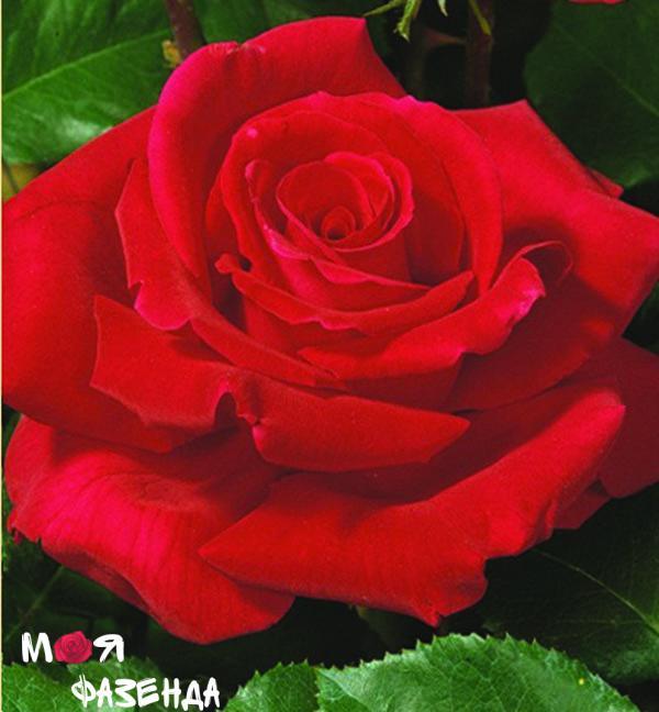 Виктор Гюго роза