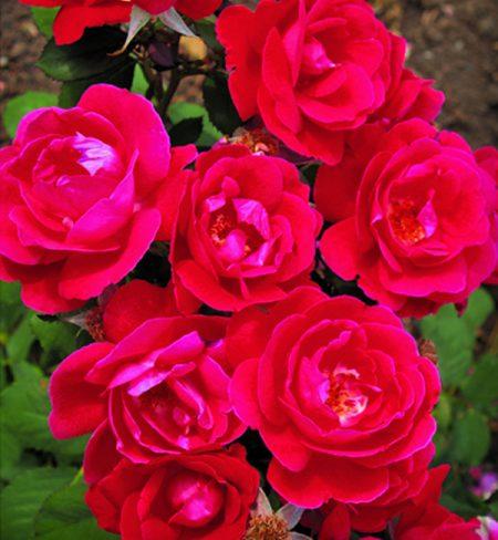 Веннипег Паркс роза
