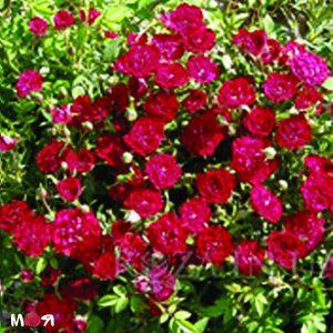 Рэд Виолет роза