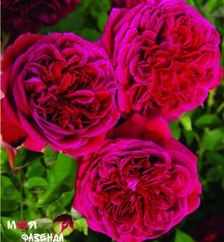 Вильям Шекспир роза