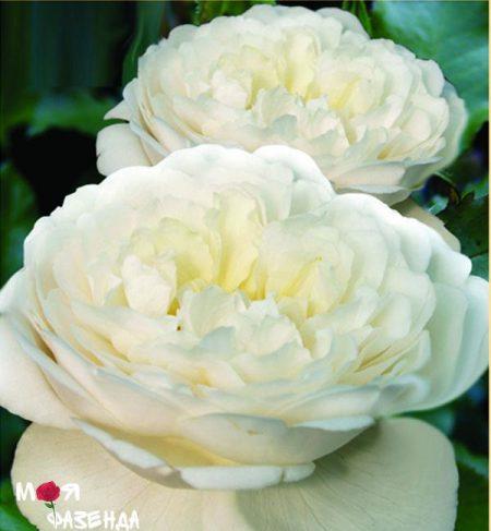 Винчестер Кафедрал роза